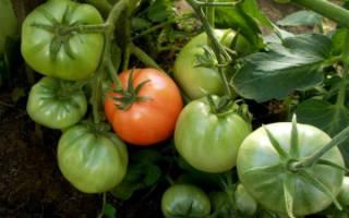 Описание и характеристики сорта томатов Клуша, урожайность и выращивание