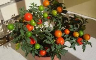 Практичные советы по выращиванию паслена в доме