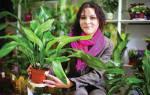 Секреты выращивания аспидистры в горшке на подоконнике