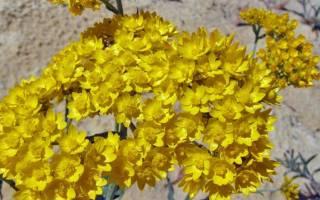 Как посадить и вырастить Гелиптерум
