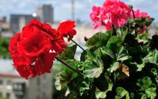 Особенности ухода за геранью, как вырастить комнатное растение