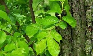 Дерево вяз: виды, лечебные свойства листьев и коры
