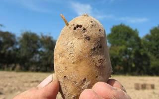 8 самых опасных вредителей картофеля и борьба с ними