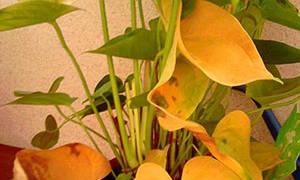Как лечить болезни листьев антуриума: фото и описание