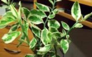Выращивание педилантуса в домашнем цветнике