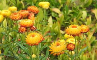 Гелихризум многолетний: посадка и уход в открытом грунте