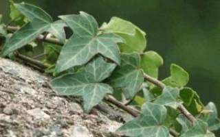 Посадка, уход и размножение плюща садового