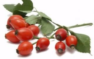 Знакомимся с сортами шиповника с крупными плодами