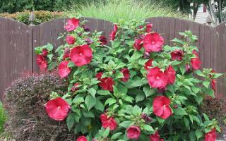Гибискус травянистый — посадка, уход, сорта и размножение