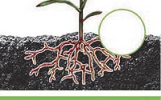 Как применять гормон роста для растений Корнерост